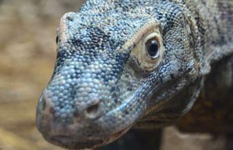 Here be dragons New Komodo dragon arrives at ZSL London Zoo