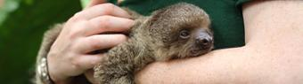 ZSL London Zoo keeper steps in to hand-rear baby two-toed sloth