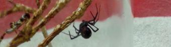 Black Widow spider from the USA travels to the UK  in a VW Camper van!